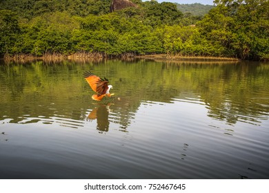 eagles flying in the mangrove of Palolem in Goa India