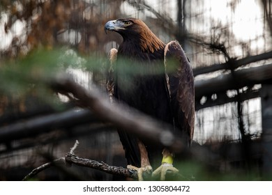 Eagles are large, powerfully built birds of prey, with heavy heads and beaks.