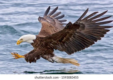 Eagles are large, powerfully built birds of prey, with heavy heads and beaks. Like all birds of prey, eagles have very large, hooked beaks for ripping flesh from their prey, strong, muscular legs