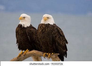 Eagles on a Perch