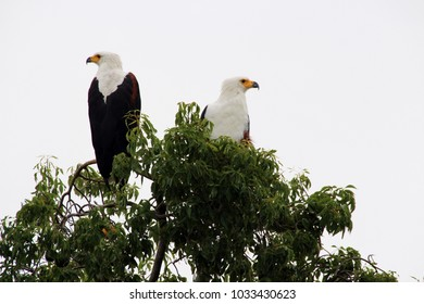 Eagles in the Trees of Africa Uganda