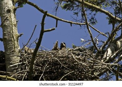 Eaglet checking out the surrounding area for the future hunting ground.