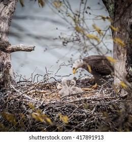 Eaglets