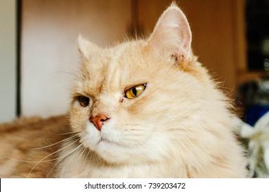 ear of cat , cat