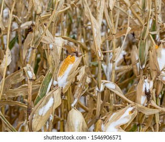Ear of corn with kernels, covered in snow, on cornstalks in cornfield. An early winter snowstorm in central Illinois stopped the late crop harvest