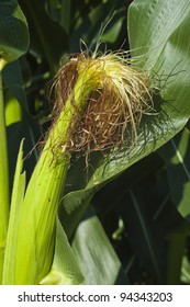 Ear of corn on the stalk in the field with corn silk
