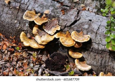 Ear Fungus on fallen log