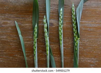 ear of grain and slice chlega