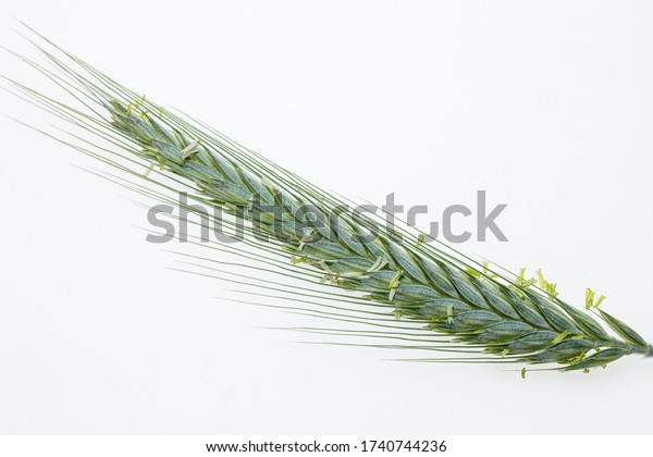 Ear of grass with seeds. Green plant. Common Vegetation. Isolated from background.