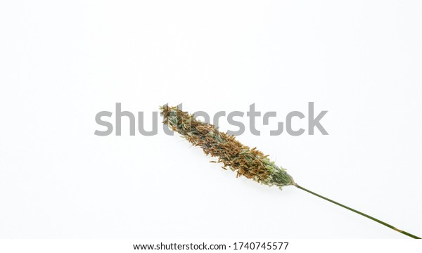 Ear of grass with seeds. Green plant. Common Vegetation. Isolated from background. Grass on a white background.