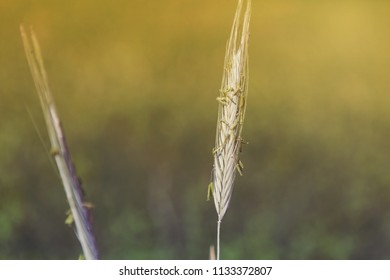 Ear of green grain selective focus on blurred background, sunset style