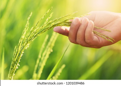 Ear of immature kernels's rice on hand with sunrise.The people is inspection the progress of the plant at the rice field.It is the Thai jasmine rice.