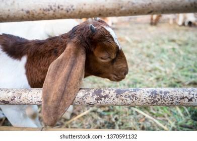 ear of little sheep