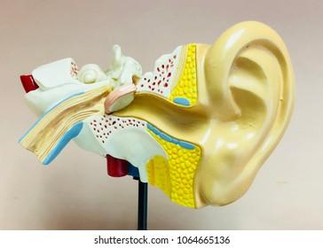 ear model isolated