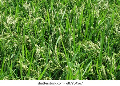 Ear of rice in the countryside in Japan