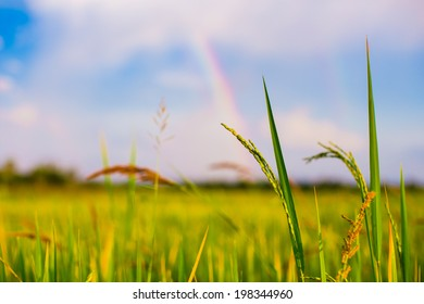 ear of rice under rainbow