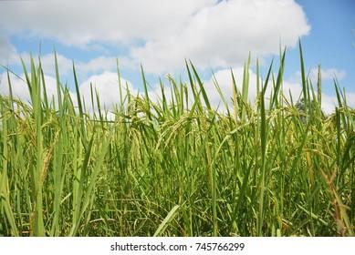 Ear of rice,Rice fields.