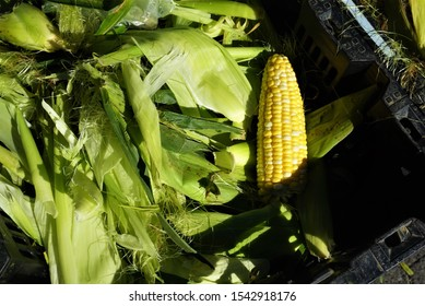 An ear of shucked yellow corn resting on a bed of corn leaves and silk at farmer's market.