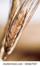 Ear, spike of wheat