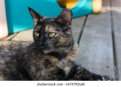 Ear tipped tortie cat laying outside