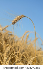 Ear of wheat on a background the field and blue sky