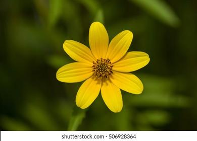 earded Beggartick (Bidens aristosa) in full bloom