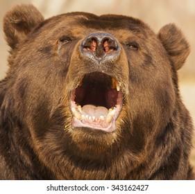 Eared bear