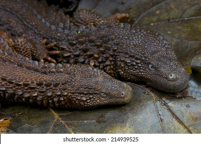 Earless monitor lizard / Lanthanotus borneensis, Borneo