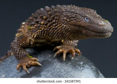 Earless monitor lizard / Lanthanotus borneensis