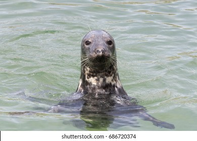 Earless seal head in the water (Phocidae).