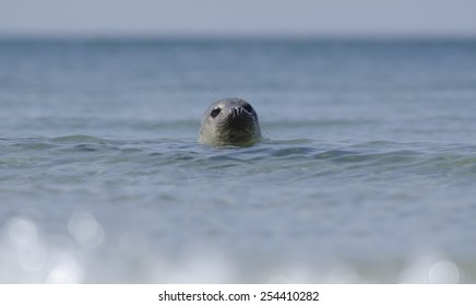 Earless seal at helgoland