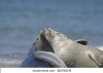 Earless seal on the beach of Dune  - zeehond
