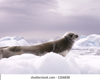 Earless Seal on an Iceberg