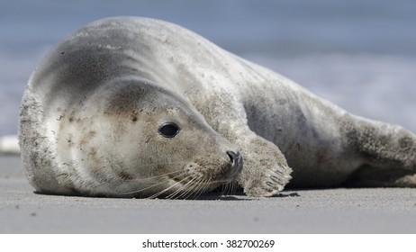 Earless seal relaxing on the beach - zeehond