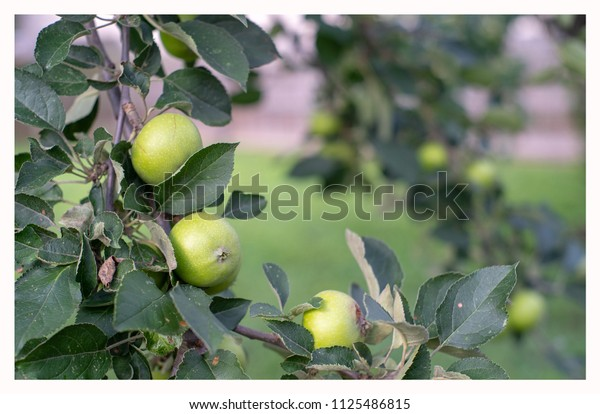 Early Apples in Summer