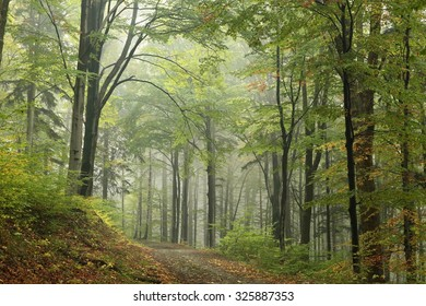 Early autumn deciduous forest in the fog.