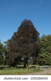 Early Autumn Foliage of a Copper Beech Tree (Fagus sylvatica f. purpurea) with a Bright Blue Sky Background in a Park in Rural Devon, England, UK