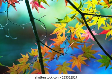 Early autumn maple leaf with light coming through, in pastel colors with pond and forest in background.
