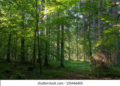 Early autumn morning in Bialowieza Forest and path crossing mixed stand