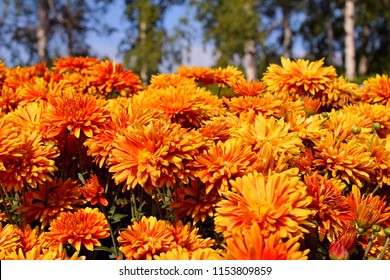Early autumn orange chrysanthemum flowers on green birch & blue sky background. Colorful chrysanthemum pattern in garden or park sunny day. Cluster of orange chrysanthemum flowers. Chrysanthemum card
