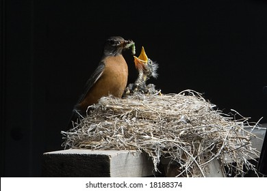 The early bird gets the worm. Momma robin is feeding her one week old baby. Two additional well fed babies are also in the nest, along with one blue unhatched egg.
