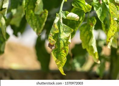 Early blight tomato/Early blight Damage symptoms