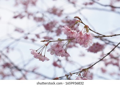 Early blooming cherry blossoms blooming in a park in Otsu City, Shiga Prefecture