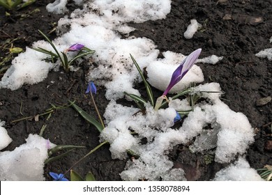 Early crocus flowers in the snow