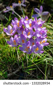 early crocus with violet blossom