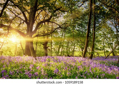 Early dawn golden light dancing over the spring carpet of bluebells in an ancient English woodland forest.
