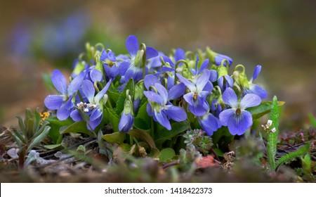 Early dog violet - Viola ambigua Waldst. et Kit. Photo was taken in Ukraine.
