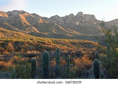 Early evening winter desert landscape with saguaro cacti in the foreground and Catalina mountains in the background in Tucson, Arizona, USA