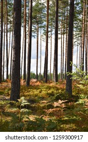 Early fall season in a bright pine tree forest with a colorful ground