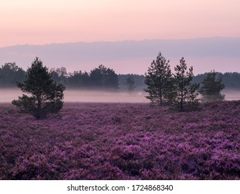 Early foggy morning on the heathland. Amazing violet color of heather flower. Selective focus.